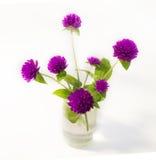 Purple and white Globe Amaranth (Bachelor Button) Stock Photo