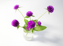 Purple and white Globe Amaranth (Bachelor Button) Stock Images