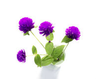 Purple and white Globe Amaranth (Bachelor Button) Royalty Free Stock Photography