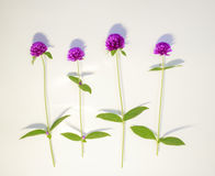 Purple and white Globe Amaranth (Bachelor Button) Royalty Free Stock Images