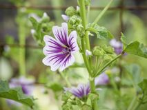 Purple and white hollyhock mallow blooming in the garden. Purple and white hollyhock mallow or zebra mallow blooming in the garden, cottage garden, close up royalty free stock image
