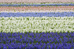 Purple and White Hyacinth Field Horizontal Royalty Free Stock Images