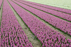 Purple and White Hyacinth Field Royalty Free Stock Images