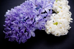 Purple and white hyacinth flowers on black background Stock Photo