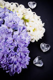 Purple and white hyacinth flowers on black background Royalty Free Stock Photos