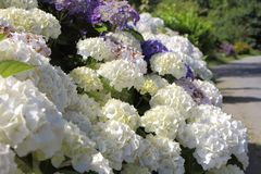 Purple and white hydrangea flower in a garden Stock Photos