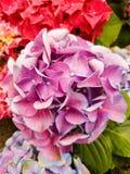 Purple and white hydrangea flower royalty free stock photo