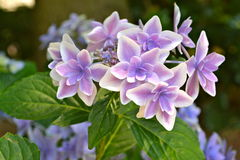 PURPLE WHITE HYDRANGEA. HYDRANGEA FLOWERS IN FULL BLOOM Royalty Free Stock Images
