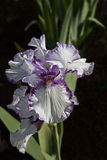 Purple and White Iris. Close up of a white iris with purple edges on a black background Stock Photos