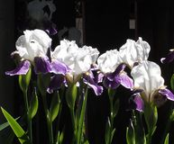 Purple And White Irises Royalty Free Stock Photography