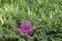 Purple and white kale rosettes Stock Photo