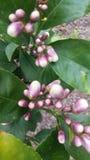 Lemon tree. Purple white lemon tree flower buds springtime stock photography