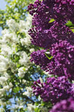 Purple and white lilac with blue sky in the background Stock Photos