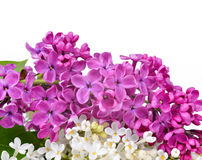 Purple and white lilac flowers Stock Photography