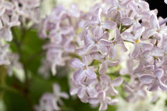 Purple and white  Lilac flowers over a black background Royalty Free Stock Images