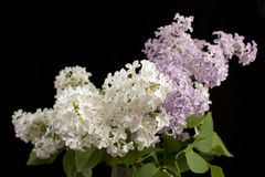 Purple and white  Lilac flowers over a black background Stock Image