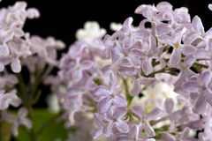 Purple and white  Lilac flowers over a black background Stock Images
