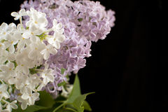 Purple and white  Lilac flowers over a black background Stock Photography