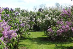 Purple and white Lilacs blooming in the park. Different varieties of lilac bushes along grass path. Spring sunshine. Highland Park, Rochester New York stock photo