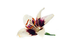 Purple white lily flower Royalty Free Stock Image