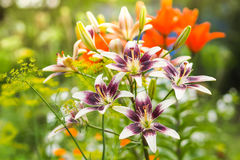 Purple and white lily flowers in the garden against the blurred green, yellow and orange background. Stock Photos
