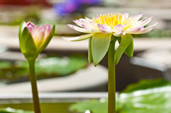 Purple white lotus Royalty Free Stock Photos