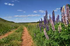 Purple and white Lupines grow along a rural road Royalty Free Stock Photos