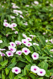 Purple and white morning glory flower. Stock Image