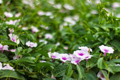 Purple and white morning glory flower. Royalty Free Stock Photography