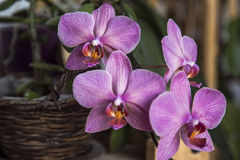 Purple and White Moth Orchids Royalty Free Stock Image