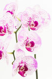 Purple and white Moth orchids close up Stock Photos