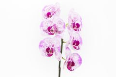 Purple and white Moth orchids close up Stock Images