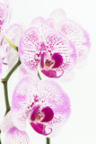 Purple and white Moth Orchids close up Royalty Free Stock Photography