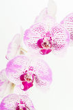 Purple and white Moth orchids close up Royalty Free Stock Photos