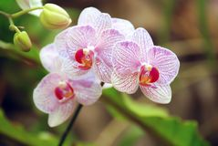 Purple white orchid Buds and green leaves. Beautiful Thai flowers royalty free stock photos