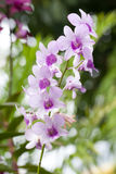 Purple white orchid closeup Royalty Free Stock Photography