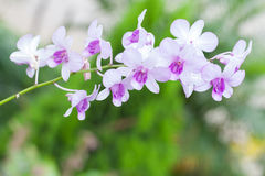Purple white orchid closeup Stock Photography