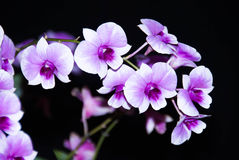 Purple & white orchid flower Stock Images