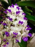 Purple white  orchid flower wallpape Stock Photo