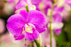 Purple white orchid flowers Stock Photo