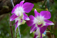 Purple and White Orchid Flowers Stock Photos