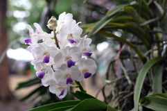 Purple-white orchids background Royalty Free Stock Photo