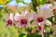 Purple and white orchids Royalty Free Stock Photography