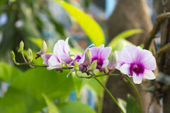 Purple and white orchids Royalty Free Stock Photo