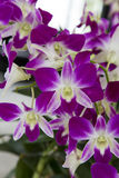 Purple and white orchids Stock Photos