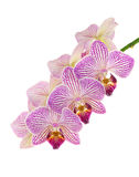 Purple and White Orchids Isolated on White Royalty Free Stock Image