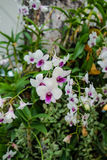 Purple and white orchids in King Mongut University Stock Photo