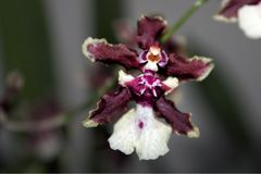 Detail of White Purple Orchids Onchidium Sharry Baby with Blurry Background. royalty free stock image