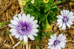 Purple And White Osteospermum Flowers in a spring season at a botanical garden. A Purple And White Osteospermum Flowers in a spring season at a botanical garden royalty free stock photo