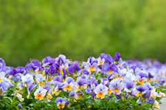 Purple and white pansies Stock Images